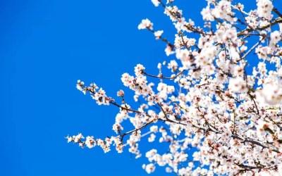 ¿Cuándo florecen los almendros?