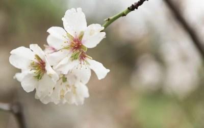 El almendro: una de las mejores alternativas en regadío