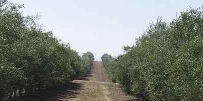Beneficios de las hojas en las plantaciones de olivar.