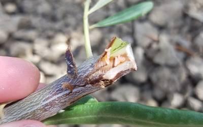 Mosquito de la corteza del olivo