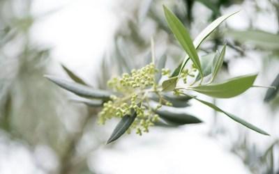 Mayo, mes de floración del olivo