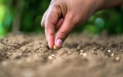 Qué es la matalauva y cómo se cultiva