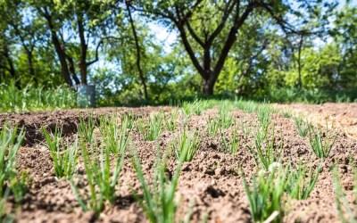 A qué distancia se siembra el ajo y otras curiosidades de su cultivo