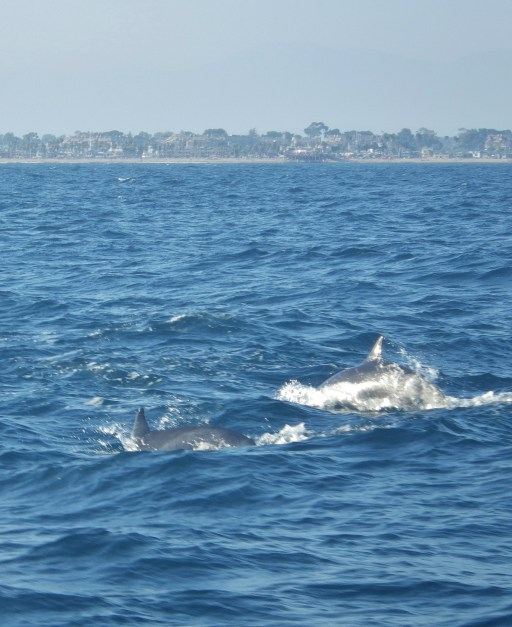 Dolphin watching dolphins appear