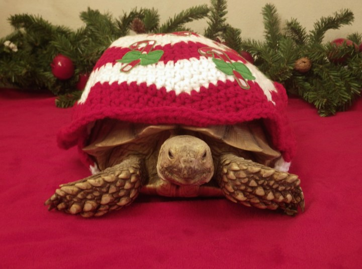 christmas photo shoot fun tortoise