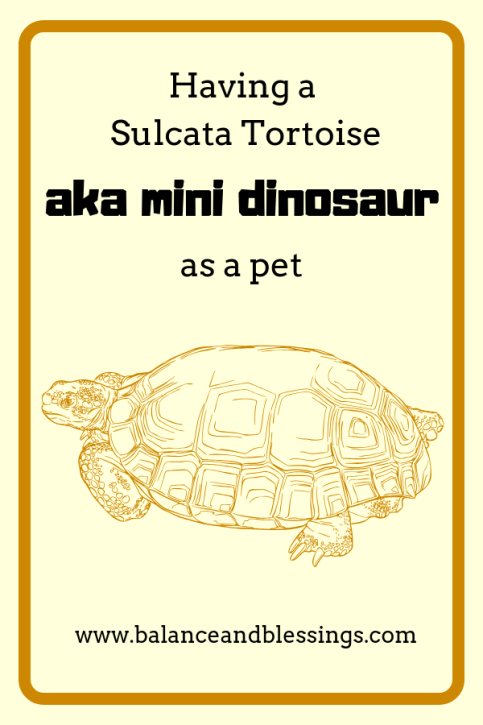Having a Sulcata Tortoise aka mini dinosaur