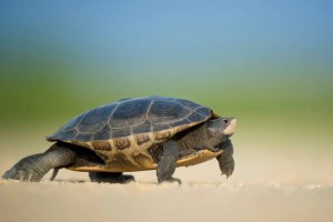 A turtle is shown walking slowly across a sandy beach. This picture represents the laws of personal development and incremental improvement.