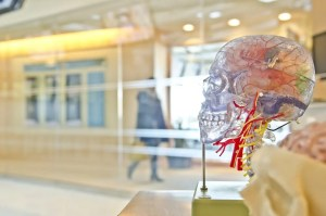 A picture is shown of a human brain model that is exhibited inside a museum. This pictures shows how science and spirituality both understand the biological and evolutionary aspects of human nature.