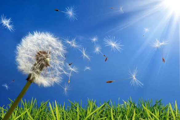 A dandelion is shown as the pollen from it blows in the wind. You can use Ayurveda to fight allergies this spring.