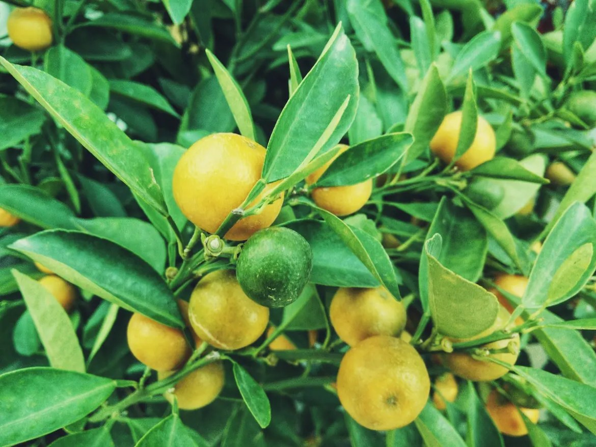 A tree is shown with ripe lemons. The picture introduces the health benefits of lemons.