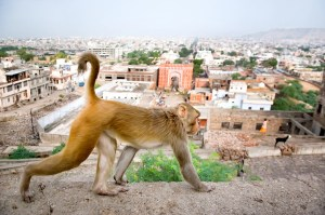 An image shows a monkey walking on the Galtaji Temple complex walls which is located just outside of Jaipur, India.