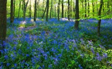 A woodland floor covered in blue bells