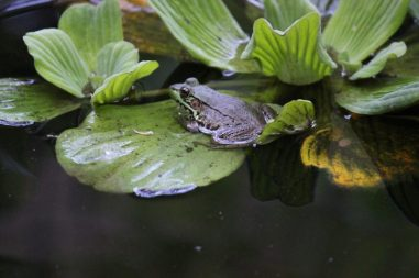 frog on lilly pad photo