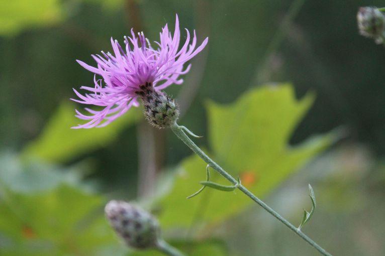 knapweed up close