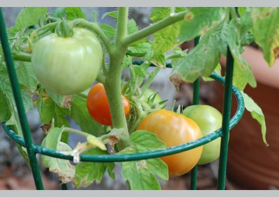 Growing Tomatoes — Great Activity For a Pre-Schooler