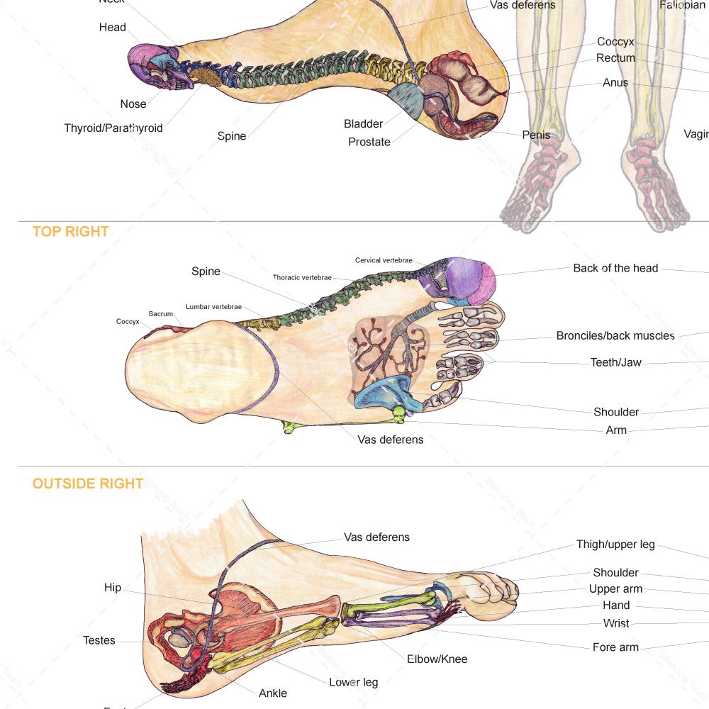 BT\'s FOOT CHART – Giant | Balancing Touch Reflexology