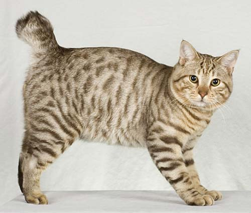 Image result for Everyone Wants an American Bobtail