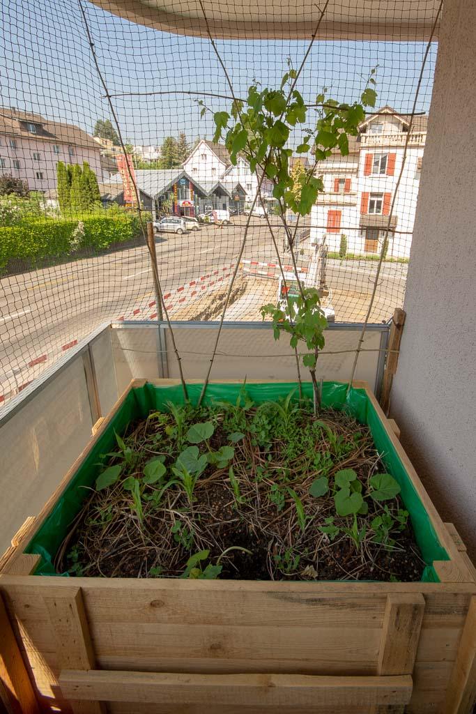 Balkonplanung wird umgesetzt: balconybotanista Kiste 1 mit den drei Schwestern Mais, Kürbis, Bohne und Wein im Hintergrund