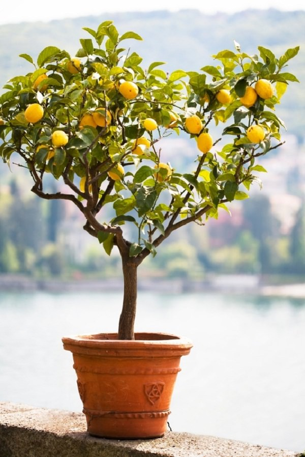 how to grow a lemon tree in pot care
