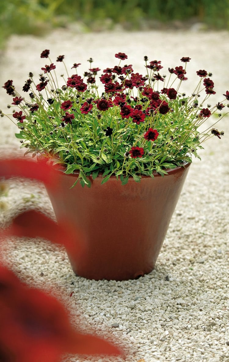 Best Chocolate Scented Flowers Plants And Flowers That