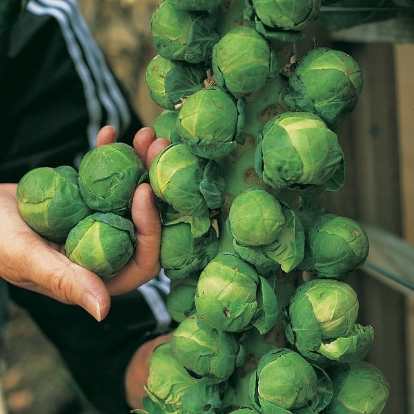 Growing Brussels Sprouts In Containers   How To Grow