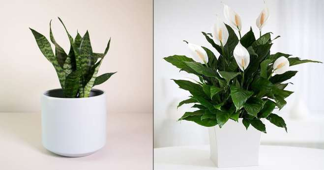 Indoor plant for Diwali gift ideas