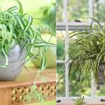 Spider Plant Care Indoors Growing Spider Plants Indoors Balcony Garden Web