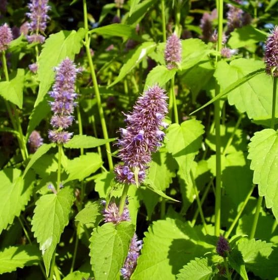 48 Best Medicinal Plants With Their Benefits Balcony Garden Web