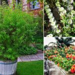 17 Best Mosquito Repelling Plants Plants That Repel Mosquitoes