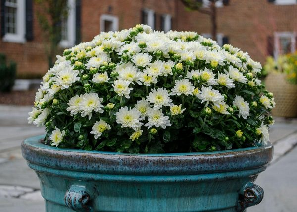 How to Grow Chrysanthemums in Pots Chrysanthemums are often grown as annuals  For growing in the ground is  only possible with suitable varieties with small and medium sized flowers