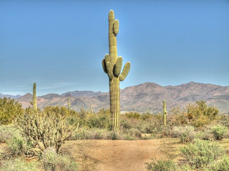 Saguaro Cactus Facts Balcony Garden Web