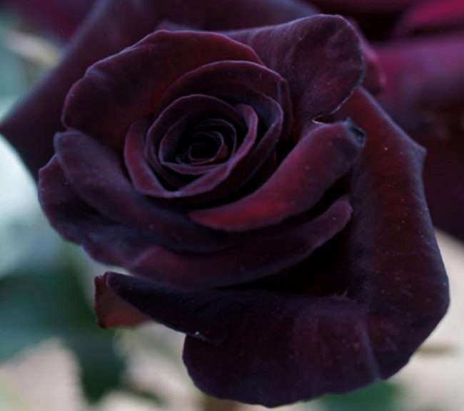 20 BLACK Flowers And Plants to Add Drama To Your Garden   Balcony     This dramatic tea rose due to its bold color and upright habit looks  stunning  it is one of the best black flowers  Its almost black color and  fragrant