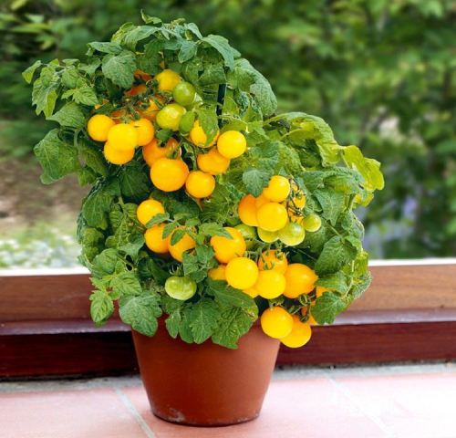 Best Vegetables to Grow in Pots   Most Productive Vegetables for     Tomato in pot