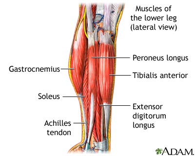 Lower Leg Muscles