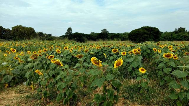 Sunflower Fields Saraburi Thailand