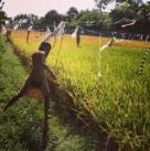 Rice Field Hopping