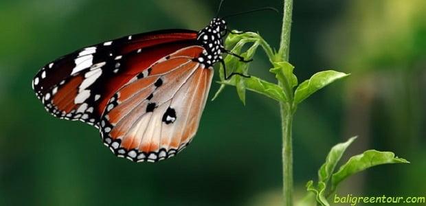 Bali Buttefly Park - Taman Kupu Kupu Bali