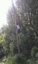Climbing coconut tree in Sekumpul Village