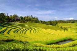 Belimbing Pupuan Rice Terrace