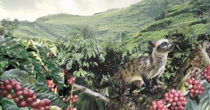 luwak cofee