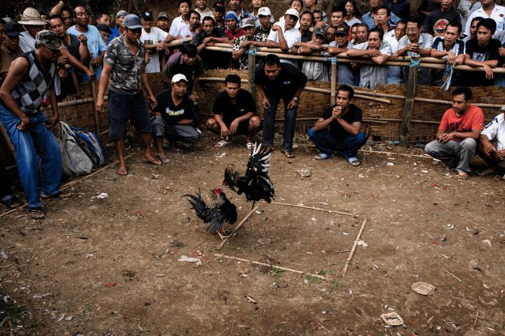 Combats de coqs © Nicolas DS