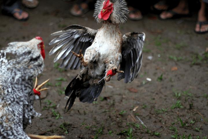 Combats de coqs en Indonésie © Adam Cohn