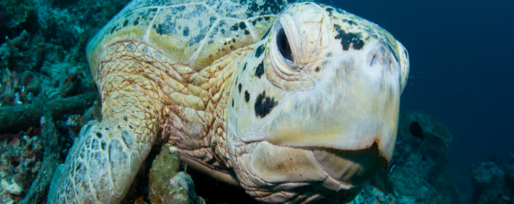 Photographing a green turtle, Kalimantan province Indonesia