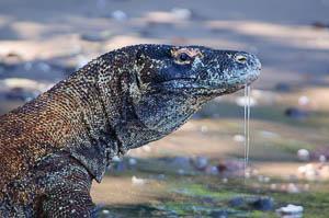 Komodo Dragon Underwater Photography Workshop 2015