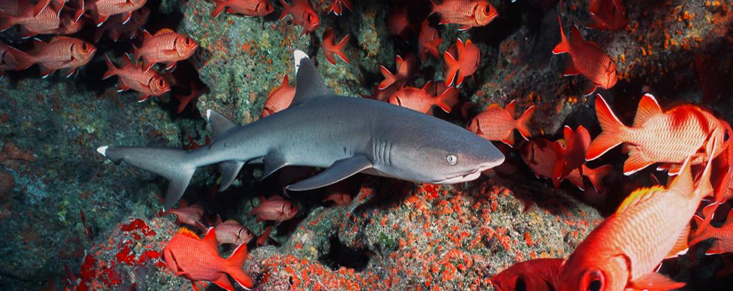 white tip reef shark and schooling soldierfish, Rangiroa, Tuamotus, French Polynesia
