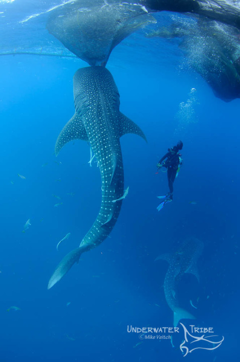 Diver dwarfed by a whaleshark