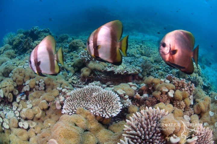 Three spadefish in formation on coral reef, Platax orbicularis, Acropora sp., Menjangan Island National Park, Pemuteran, Bali, Indonesia, Pacific Ocean