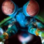 Peacock Mantis Shrimp Cover Photo