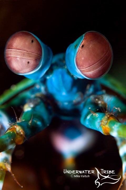Peacock Mantis Shrimp Cover Photo