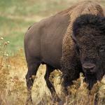 Bizoni i jeleni lopatari uskoro stižu na Frušku Goru